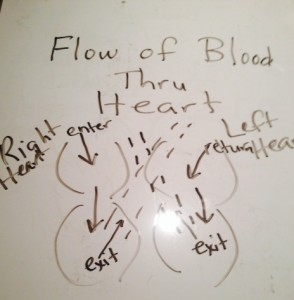 FLOW of Blood Through HEART; Deoxygenated blood comes from the upper and lower parts of the body through the vena caval system; then travels through the right heart, passing through the pulmonary arteries to the lung, and is then returned back as Oxygenated Blood to the left heart via the pulmonary veins, and finally exits the heart through the aortic valve to the rest of the the body.  This pumping cycle is repeated continuously throughout life.